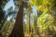 Mariposa-Grove_Yosemite-National-Park_CA