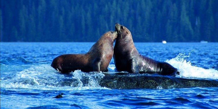 Sea Lions, British Columbia