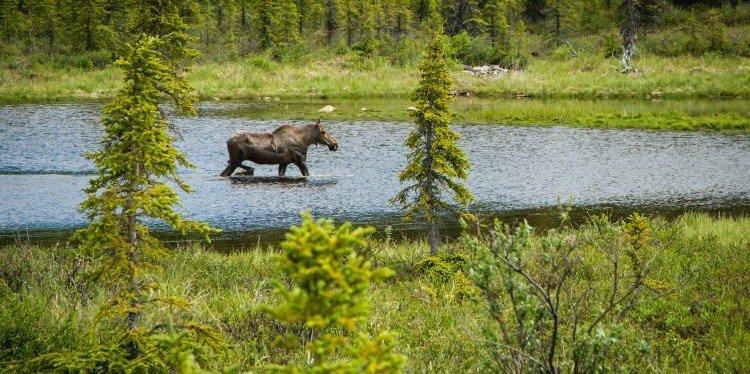 Denali National Park Moose, Alaska (c) Yancy Caldwell