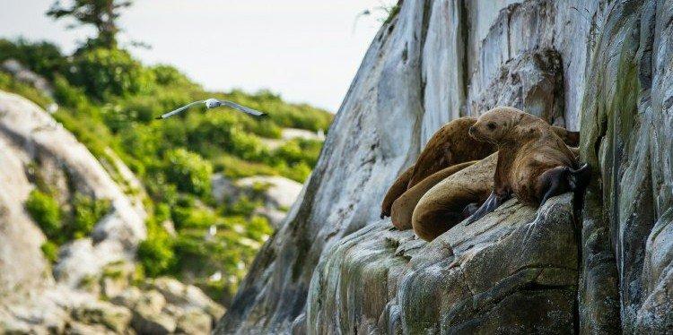 Glacier Bay Sea Lion, Alaska (c) Yancy Caldwell